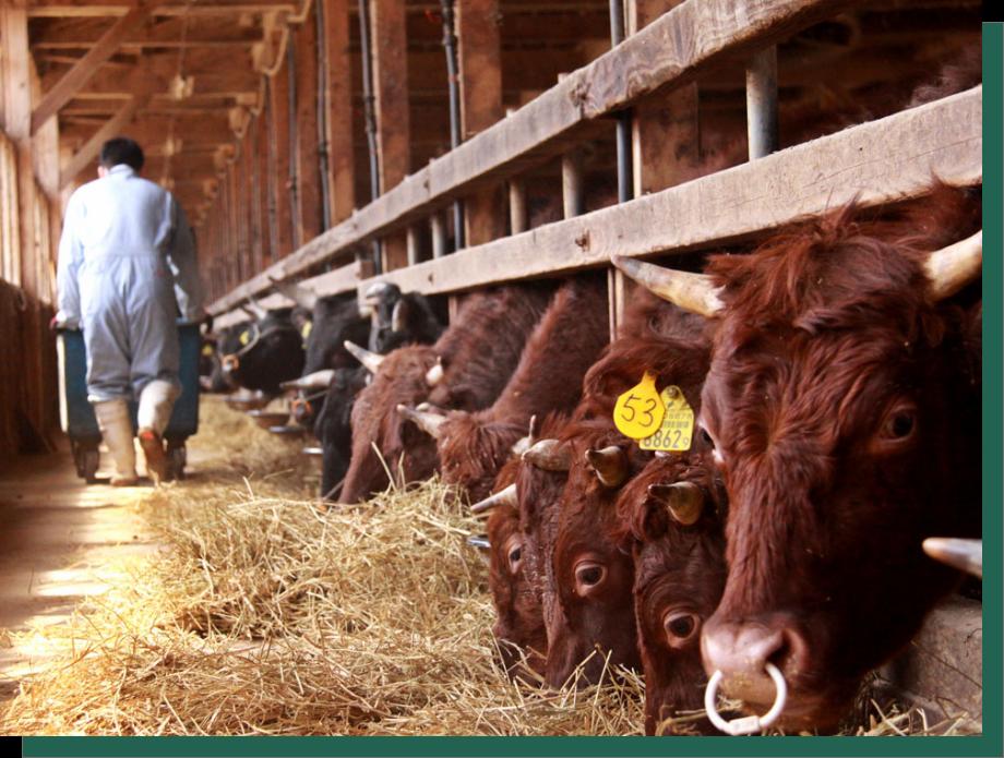 餌へのこだわり:牛に餌やり