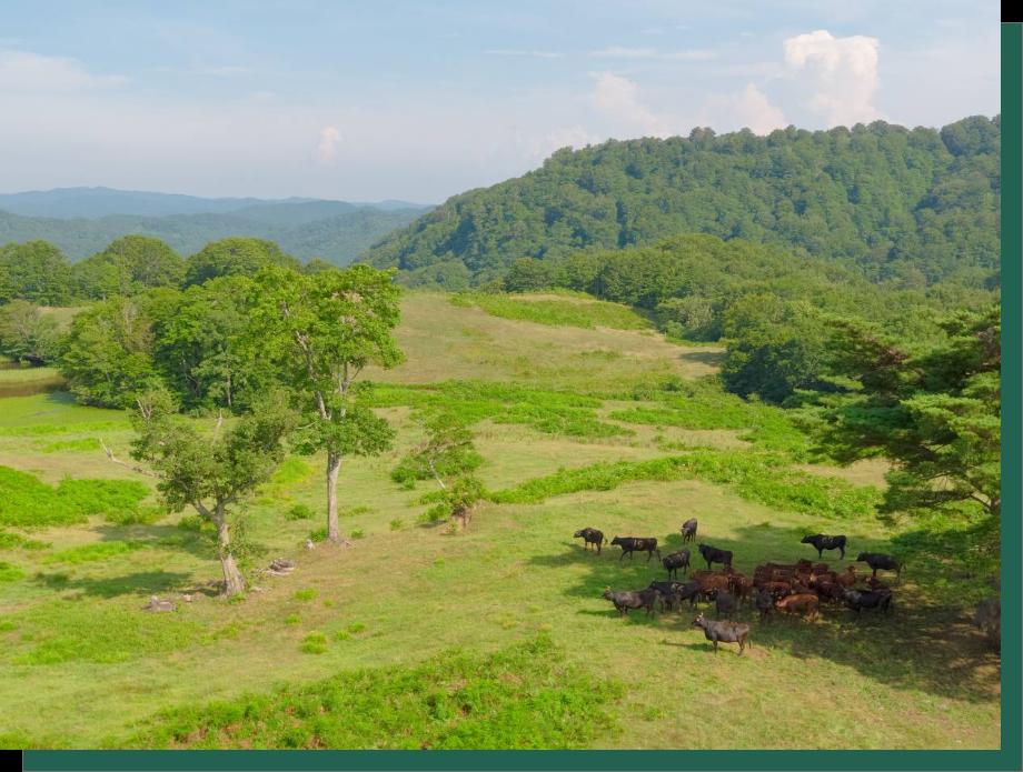 小国短角牛:放牧